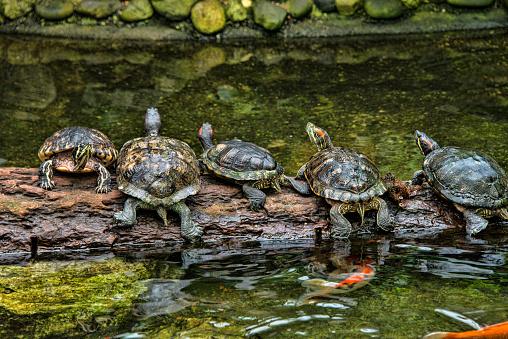 Carp「Five turtles on a log」:スマホ壁紙(6)
