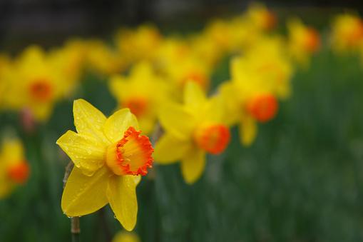 水仙「Narcissus Flowers」:スマホ壁紙(12)