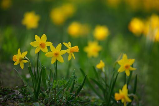 水仙「Narcissus Flowers」:スマホ壁紙(16)