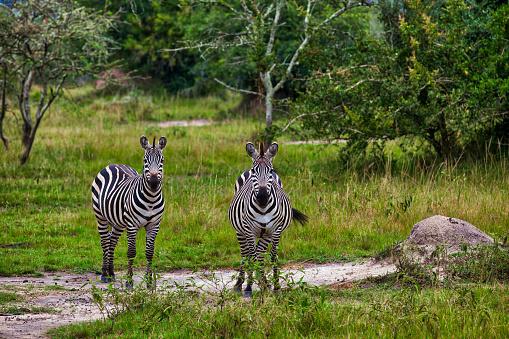 Eco Tourism「Zebras at Savannah」:スマホ壁紙(7)