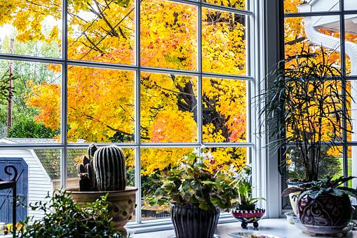 Maple Leaf「Brilliant Autumn Maple Tree Leaves Beyond Houseplants」:スマホ壁紙(2)