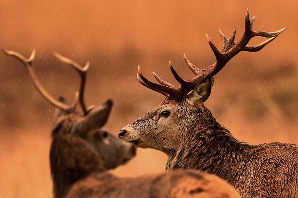 Horizontal「Red Deer Graze In Glen Etive」:写真・画像(15)[壁紙.com]