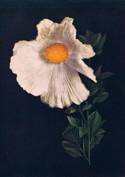 Black Background「Matilija Poppy,  c1915, (1915)」:写真・画像(17)[壁紙.com]