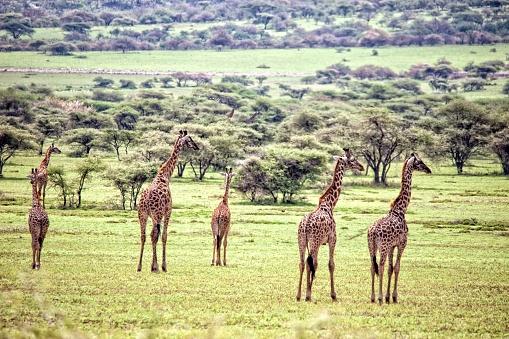 Giraffe「Giraffes, Serengeti National Park」:スマホ壁紙(17)