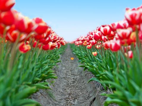 キューケンホフ公園「Field red white tulips in Netherlands  - shallow focus」:スマホ壁紙(4)