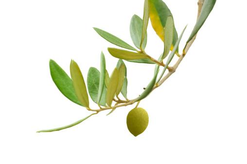 Symbols Of Peace「Olive branch」:スマホ壁紙(7)