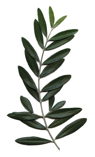 Olive Branch「olive branch, Olea europaea」:スマホ壁紙(4)