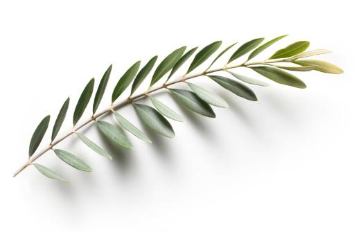 Twig「Olive branch. Peace Symbol.」:スマホ壁紙(9)