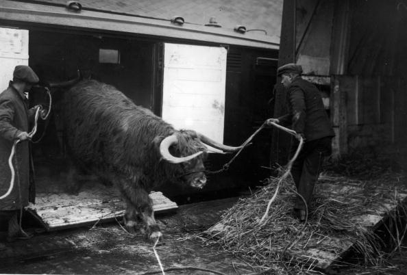 Working Animal「Unloading A Steer」:写真・画像(4)[壁紙.com]