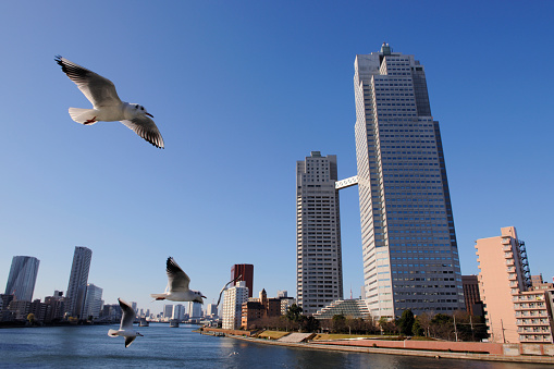 Seagull「Seagulls flying over the Sumida River near Kachidoki Bridge. Tsukuda-ohashi, Chuo-ku, Tokyo, Japan」:スマホ壁紙(0)