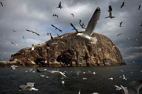Bird「The Gannet Colony Of Bass Rock」:写真・画像(14)[壁紙.com]