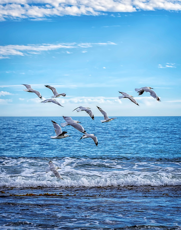 Flock Of Birds「Seagulls flying over ocean, Perth, Western Australia, Australia」:スマホ壁紙(11)