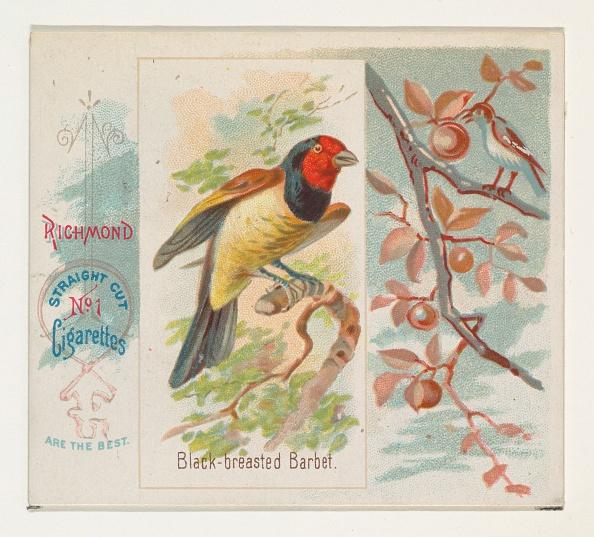 Songbird「Black-Breasted Barbet」:写真・画像(4)[壁紙.com]