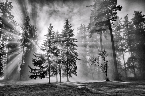 Fog「Sun bursts in the rain forest, Vancouver, Canada in black and white.」:スマホ壁紙(11)