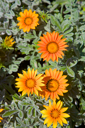 Flower Head「Orange with reddish-bronze striped petals of Gazania Rigens 'Kiss Frosty Orange Flame'」:スマホ壁紙(8)