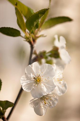 梅の花「Plum Tree Blossom」:スマホ壁紙(19)