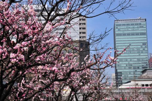 梅の花「Plum Tree Blossoming in Otemachi」:スマホ壁紙(19)