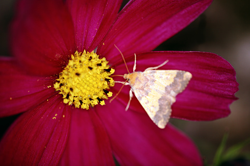 コスモス「Pink Barred Sallow (Xanthia togata)」:スマホ壁紙(8)