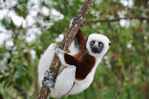 Arboreal Animal「Coquerels sifaka, Propithecus verreauxi coquereli. Feeds on flowers, bark, leaves and some fruits. Preferred habitats are deciduous and evergreen forests. Groups of 3-10 move through trees by clinging and leaping. Endangered. Dist. Madagascar」:スマホ壁紙(17)