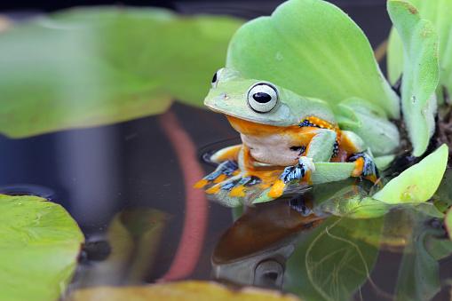Water Lily「Javan Tree frog sitting on lily pad, Indonesia」:スマホ壁紙(11)