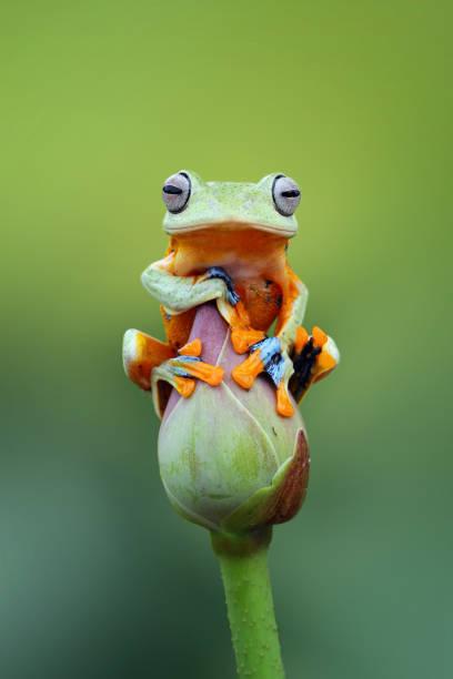 Javan tree frog sitting on a lotus flower bud:スマホ壁紙(壁紙.com)