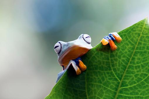 Tree Frog「Javan tree frog on a leaf, Indonesia」:スマホ壁紙(10)