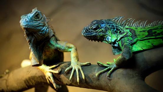Green Iguana「Love of İguana」:スマホ壁紙(14)