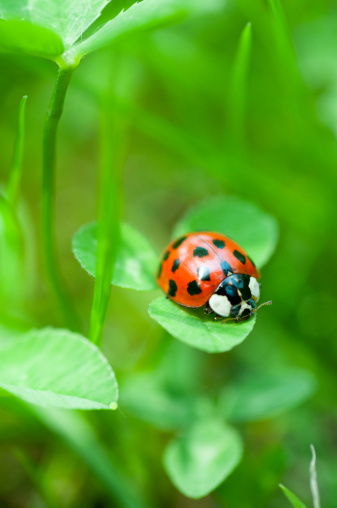 Beetle「ladybug in the grass」:スマホ壁紙(11)