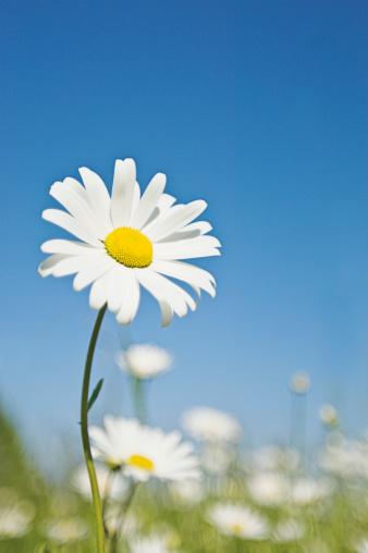 Marguerite - Daisy「Ox-eye Daisy (Leucanthemum vulgare), June」:スマホ壁紙(10)