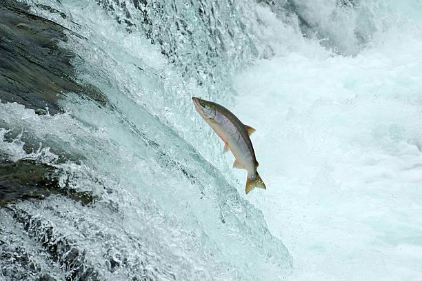 Jumping Salmon:スマホ壁紙(壁紙.com)