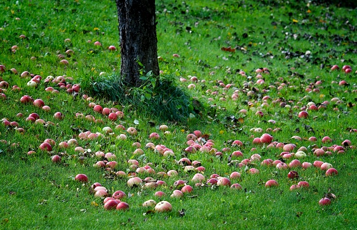 Apple Tree「Apples under apple tree in autumn」:スマホ壁紙(15)