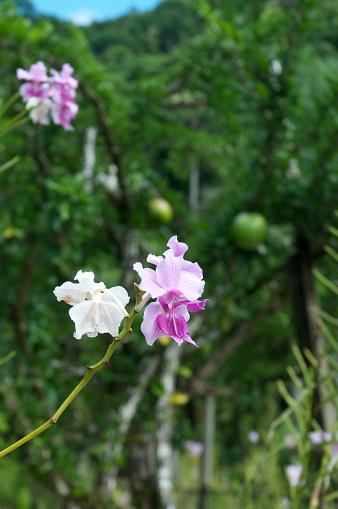 flower「Orchids, Botanical Garden, Fiji」:スマホ壁紙(15)