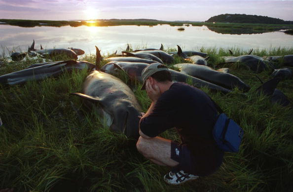Whale「Whales Euthanized After Being Stranded Again」:写真・画像(13)[壁紙.com]