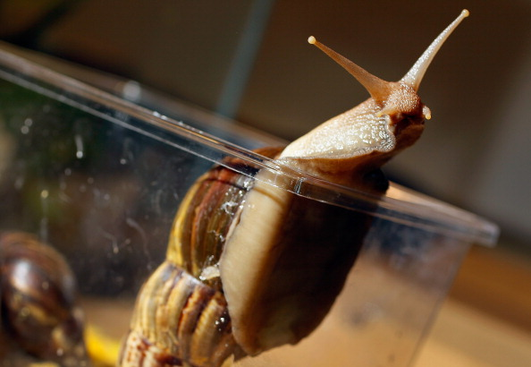 カタツムリ「Dep't Of Agriculture Warns Of Arrival Of Giant African Land Snails In U.S.」:写真・画像(13)[壁紙.com]