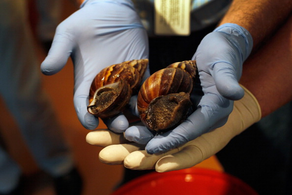カタツムリ「Dep't Of Agriculture Warns Of Arrival Of Giant African Land Snails In U.S.」:写真・画像(0)[壁紙.com]
