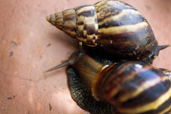 カタツムリ「Dep't Of Agriculture Warns Of Arrival Of Giant African Land Snails In U.S.」:写真・画像(12)[壁紙.com]