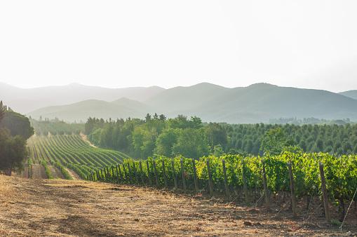 胸を打つ「トスカーナのブドウ畑と風景。イタリア」:スマホ壁紙(5)