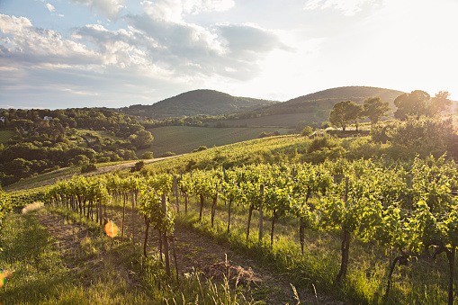Austria「Vineyards at sunset in Vienna, Austria」:スマホ壁紙(18)