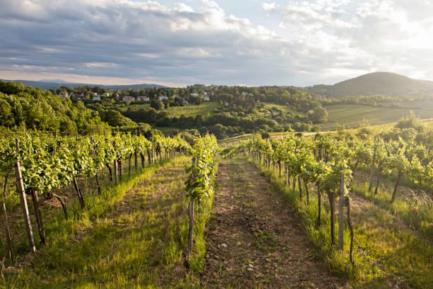 Vineyards at sunset in Vienna, Austria:スマホ壁紙(壁紙.com)