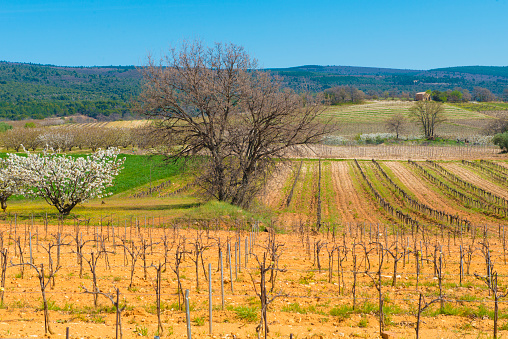 桜「vineyards and cherry trees in spring in Provence countryside France」:スマホ壁紙(14)