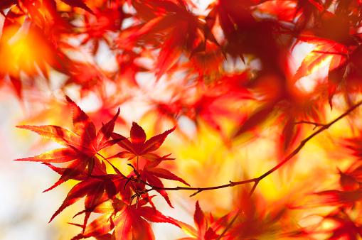 紅葉「輝くイロハモミジ」:スマホ壁紙(7)