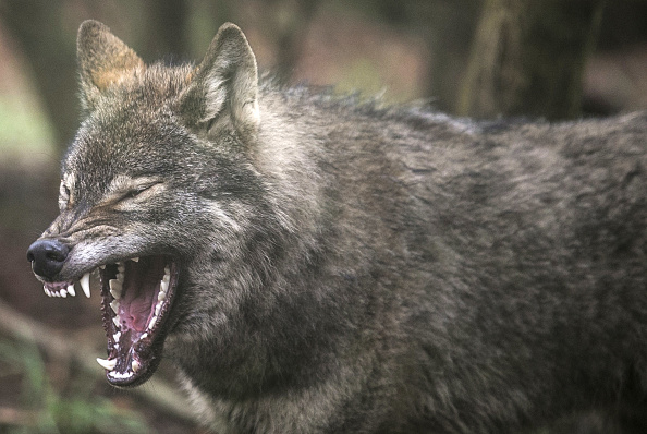 animal「Wild Place Project Welcomes A Pack Of Wolves」:写真・画像(16)[壁紙.com]