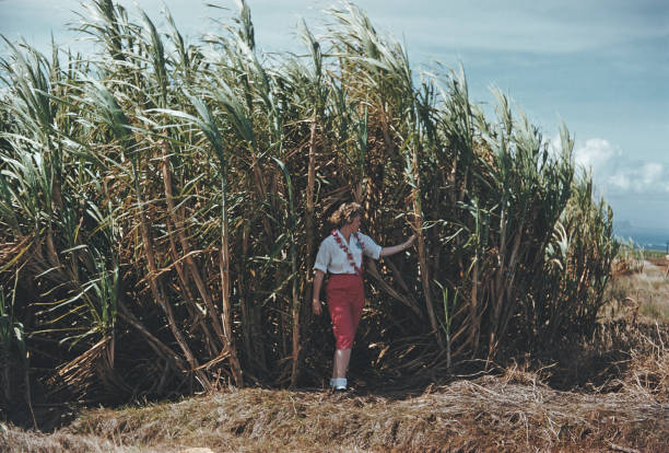 Maui Sugar Cane:ニュース(壁紙.com)