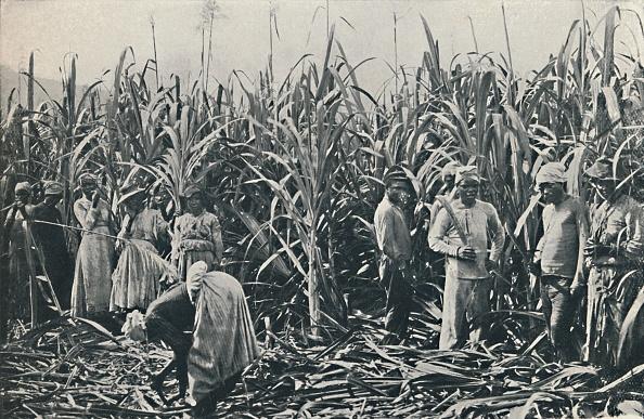 Grass Family「A Sugar Cane Plantation」:写真・画像(11)[壁紙.com]