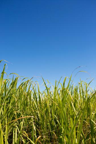 Sugar Cane「Sugar Cane Crop」:スマホ壁紙(13)