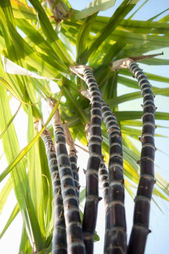 Sugar Cane「Sugar Cane From Below」:スマホ壁紙(9)