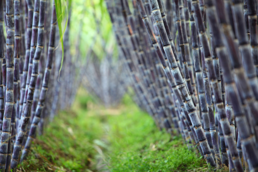 Sugar Cane「Sugar cane field」:スマホ壁紙(15)
