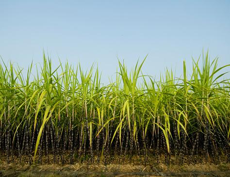 Sugar Cane「Sugar Cane Plantation」:スマホ壁紙(3)