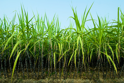 Sugar Cane「Sugar Cane Plantation」:スマホ壁紙(2)
