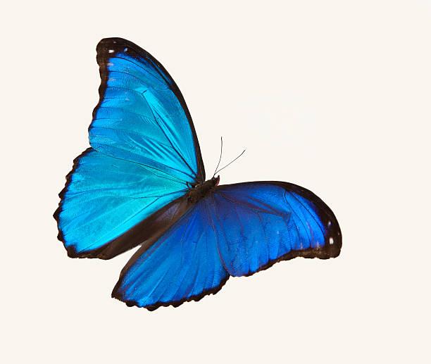 Bright blue butterfly flying against a white backdrop:スマホ壁紙(壁紙.com)